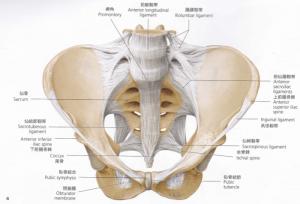 骨盤前面(靭帯)