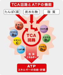 ATP回路