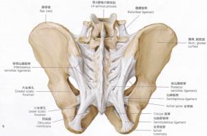 骨盤後面(靭帯)