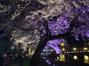 <足羽川の夜桜>